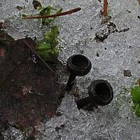 Донадиния сибирская (Donadinia sibirica)