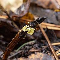Калиптелла колокольчиковая (Calyptella campanula)