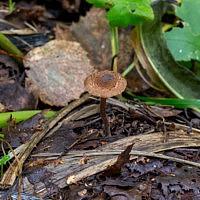 Волоконница красивоспоровая (Inocybe calospora)