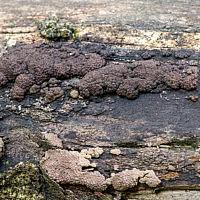 Джекроджерселла многообразная (Jackrogersella multiformis)