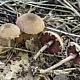 Меланофиллум чешуйчатый (Melanophyllum haematospermum)