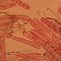 Псевдоплектания чёрная (Pseudoplectania melaena)