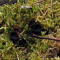 Псевдоплектания черноватая (Pseudoplectania nigrella)