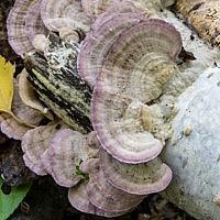Трихаптум двоякий (Trichaptum biforme)