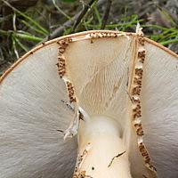 Эхинодерма шершавая (Echinoderma asperum)