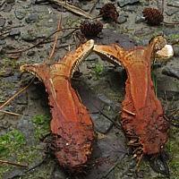 Гиднеллум оранжевый (Hydnellum aurantiacum)