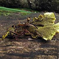 Гиднеллум землеродный (Hydnellum geogenium)