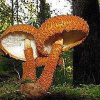 Лейкофолиота древесинная (Leucopholiota lignicola)