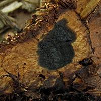 Гиднеллум золотистый (Hydnellum auratile)