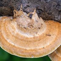 Трутовик лисий (Inocutis rheades)