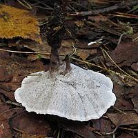 Феллодон чёрно-белый (Phellodon melaleucus)