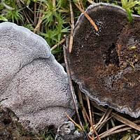 Феллодон чёрный (Phellodon niger)