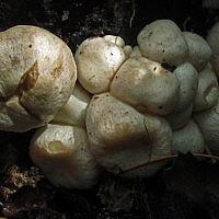 Энтолома недоразвитая (Entoloma abortivum)