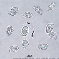 Энтолома стальная (Entoloma chalybeum). Споры