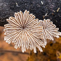 Щелелистник обыкновенный (Schizophyllum commune)