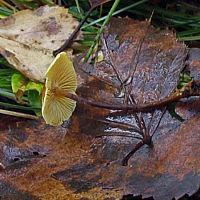 Ксеромфалина ясенелюбивая (Xeromphalina fraxinophila)