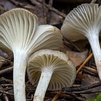 Герронема волчковидная (Gerronema strombodes)