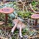 Горькушка (Lactarius rufus)