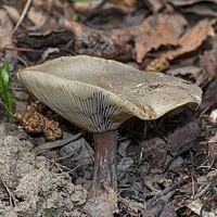Меланолейка коротконожковая (Melanoleuca brevipes)