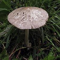 Вольвоплютей мичиганский (Volvopluteus michiganensis)