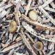 Стробилосцифа кипарисная (Strobiloscypha cupressina)