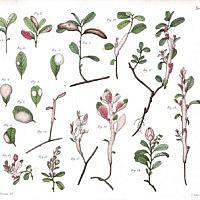 Экзобазидиум брусничный (Exobasidium vaccinii). Иллюстрация Воронина М. С. 1867 г. Tab. V..