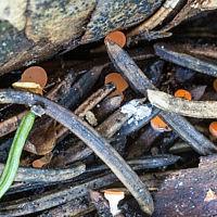 Псевдопитиелла крупноспоровая (Pseudopithyella magnispora)