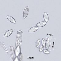 Псевдопитиелла крупноспоровая (Pseudopithyella magnispora). Споры