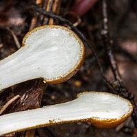 Толипокладиум длинносегментный (Tolypocladium longisegmentatum)