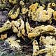 Линдтнерия золотистая (Lindtneria flava)