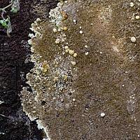 Нодулиспориум галлообразующий (Nodulisporium cecidiogenes) на плодовом теле кониофоры колодезной (Coniophora puteana)