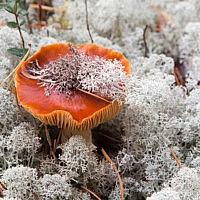 Паутинник слизистый (Cortinarius mucosus)