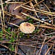 Лепиота Будье (Lepiota boudieri)