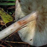Родоколлибия каштаново-белая (Rhodocollybia badiialba)