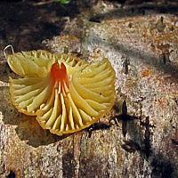 Глиофор мелковатый (Gliophorus subminutulus)
