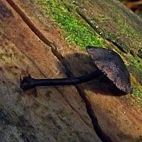 Гидропус чернильный (Hydropus atramentosus)