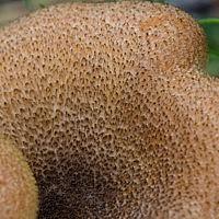 Рядовка украшенная (Tricholomopsis decora)