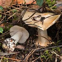 Паутинник сизо-соломенный (Cortinarius caesiostramineus)