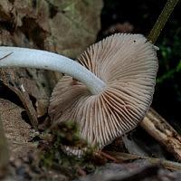 Больбитус сетчатый (Bolbitius reticulatus)