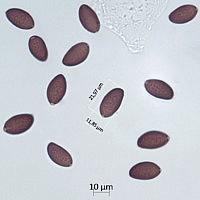 Коноцибе гигантоспоровая (Conocybe gigasperma)