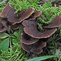 Гиднеллум ямчатый (Hydnellum scrobiculatum)