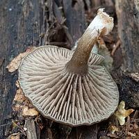 Энтолома шерстистая (Entoloma lanicum)