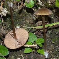 Энтолома сосочковая (Entoloma papillatum)