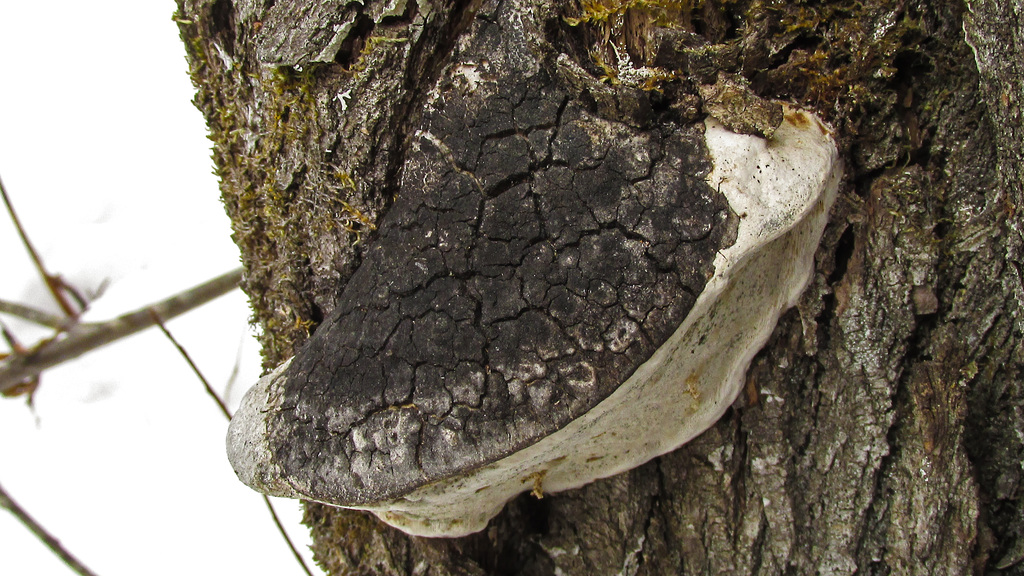 Гаплопорус пахучий (Haploporus odorus)