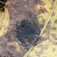 Ритизма ивовая (Rhytisma salicinum)