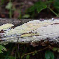 Антродия золотисто-жёлтая (Antrodia xantha)