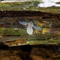 Энтомофтора мушиная (Entomophthora muscae)