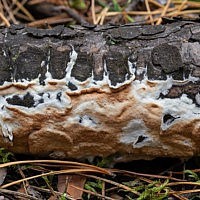 Глеопорус тисовый (Gloeoporus taxicola)