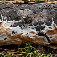 Глеопорус тиссовый (Gloeoporus taxicola)