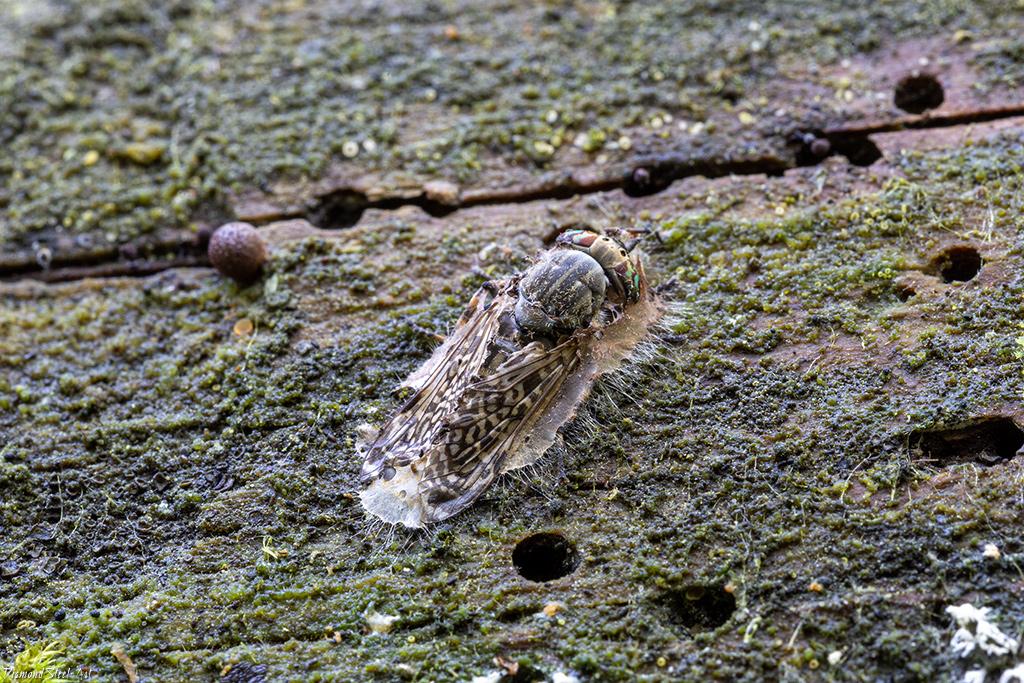 Энтомофага слепнеядная (Entomophaga tabanivora)